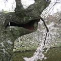 Photos: 枯れ木に花