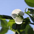 Photos: 豆の花06