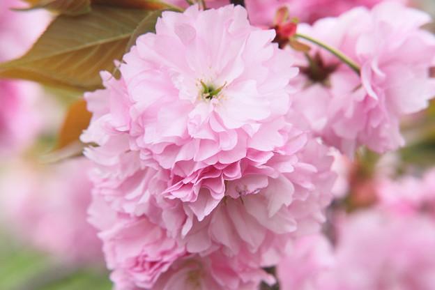 Photos: 八重桜01