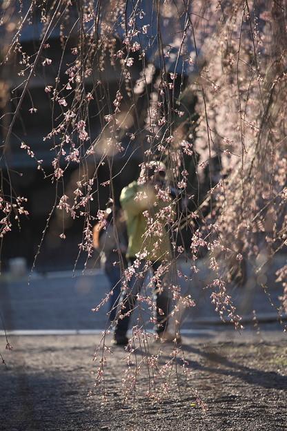 Photos: 桜巡礼`12'(身延、久遠寺、桜と人編)-2