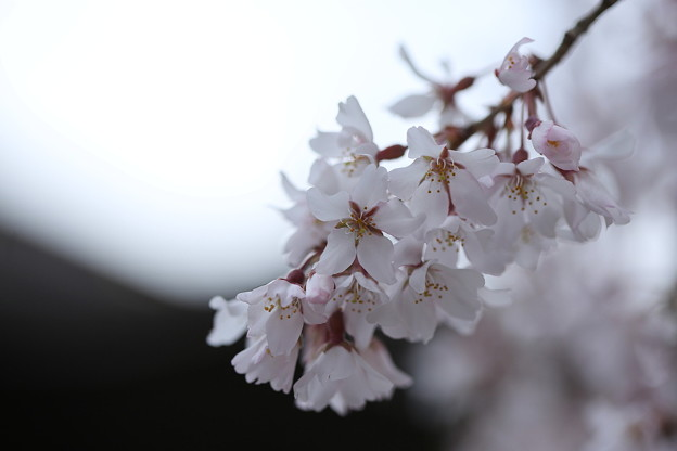 Photos: 桜`15(久遠寺編)-28