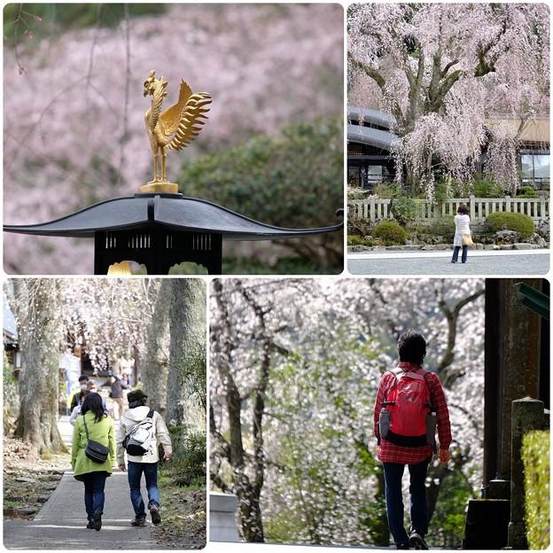 桜`15(久遠寺編)-35