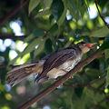 Photos: ムクドリ幼鳥