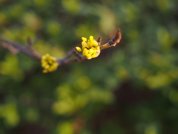 Photos: 黄金の花