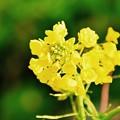 黄色い菜の花も河津桜に負けずに。。2月28日
