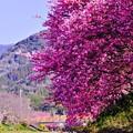 河川敷から見え上げてもピンクなる河津桜。。2月28日