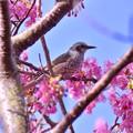 ヒヨドリも元気に河津桜周りを飛び回る。。2月28日