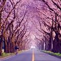 ピンクに染まる海軍道路の桜並木。。3月31日