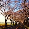 海軍道路の桜並木に朝日を浴びて。。3月31日