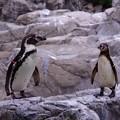 写真: ほんと動かないフンボルトペンギン。。よこはま動物園ズーラシア5月25日