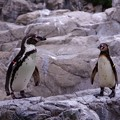 Photos: ほんと動かないフンボルトペンギン。。よこはま動物園ズーラシア5月25日