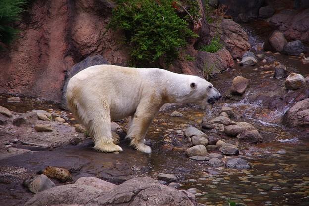 朝から元気いい。。ホッキョクグマ。。よこはま動物園ズーラシア5月25日