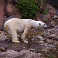 写真: 朝から元気いい。。ホッキョクグマ。。よこはま動物園ズーラシア5月25日