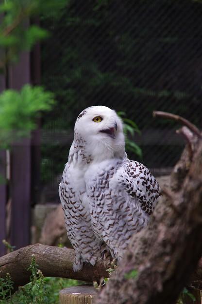 ニコッと笑うので有名なシロフクロウ。。よこはま動物園ズーラシア5月25日