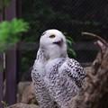 写真: ニコッと笑うので有名なシロフクロウ。。よこはま動物園ズーラシア5月25日