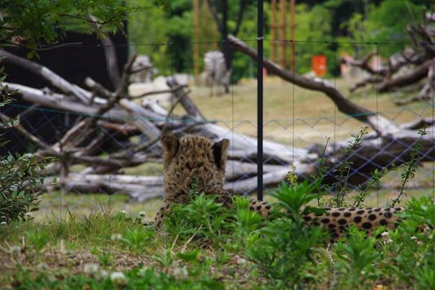 獲物を狙う視線。。チーター よこはま動物園ズーラシアアフリカサバンナゾーン。。5月25日