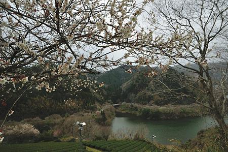月ヶ瀬で梅撮影2012-7