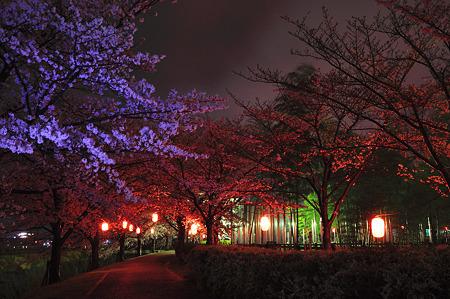 自力ライトアップで桜撮影・6