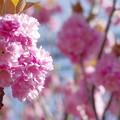 Photos: 150417yaesakura