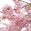 yodoSakura_DSC06610
