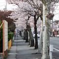 Photos: 自衛隊通りの桜並木