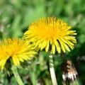 Dandelion ~早咲きのタンポポ~