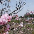 八重桜で花見
