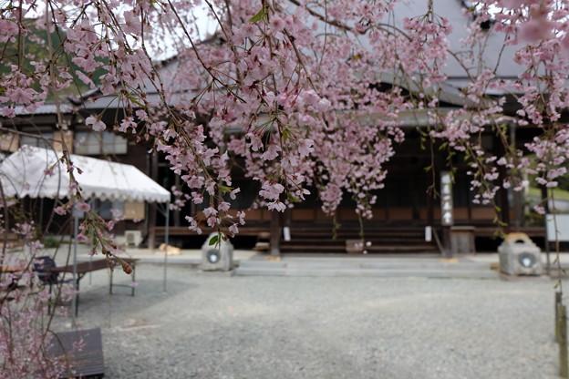 Photos: 光福寺の子糸桜