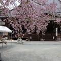 光福寺の子糸桜
