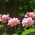 Photos: バラが咲く公園内