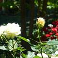 Photos: 華やかなバラの花