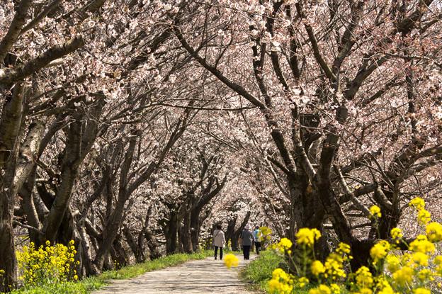 浮羽流川の桜並木♪