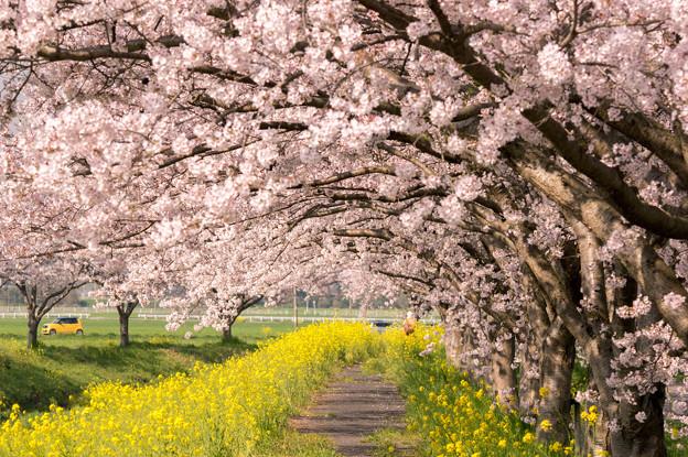 草場川の桜並木♪?