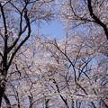 写真: 桜 2015