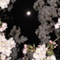 写真: 月と桜