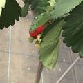 写真: 苺狩り