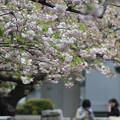 淡いピンクの八重桜・松月