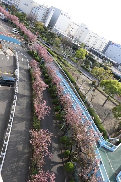 東京流通センター 桜並木