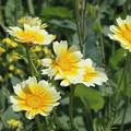 鮮やかな春菊
