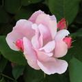 初々しいピンクの薔薇