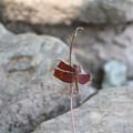 写真: 珍しい赤とんぼさん