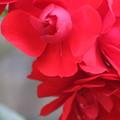 Photos: 真っ赤な薔薇