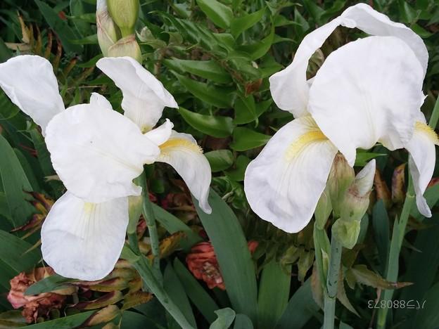 アイリスの花(2)