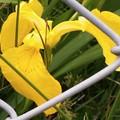 Photos: キショウブの花