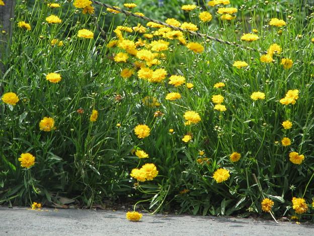 オオキンケイギク 八重咲き