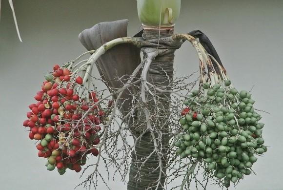 赤と緑のマニラヤシの実