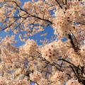 Photos: 春爛漫  ~Glorious spring~