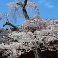 27.4.15鹽竈神社楼門前の桜